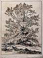 Plane tree (Platanus orientalis L.) in Rycot Park, Oxfordshi Wellcome V0043126.jpg