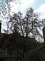 Platan javorolistý u klimentského kostela (2).JPG