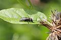 Platystoma seminationis (Diptera- Platytomatidae ) (9528241115).jpg