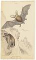 Plecotus auritus - 1700-1880 - Print - Iconographia Zoologica - Special Collections University of Amsterdam - UBA01 IZ20800085.tif