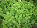 Plectranthus rotundifolius DSCN0617.jpg