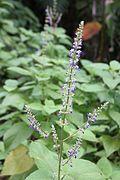 Plectranthus scutellarioides - El Yunque nat park PR IMG 2123.JPG