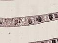 Pleioplana atomata (YPM IZ 073713) 16.jpeg