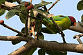 Plum-headed Parakeet (Psittacula cyanocephala) feeding on Ficus benghalensis W IMG 4352.jpg