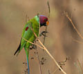 Plum-headed Parakeet (Psittacula cyanocephala) in Hyderabad W2 IMG 4493.jpg
