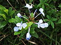 Plumbago auriculata-Lake park-yercaud-salem-India.JPG