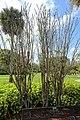 Plumeria pudica - Mounts Botanical Garden - Palm Beach County, Florida - DSC03775.jpg
