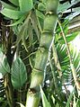 Poales - Bambusa ventricosa 2.jpg