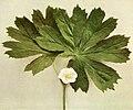Podophyllum peltatum WFNY-076-6x5.jpg