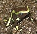 Poison Dart Frog 01.jpg