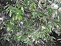 Polyalthia coffeoides-3-JNTBGRI-palode-kerala-India.jpg