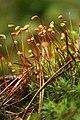 Polytrichum commune (KK).jpg
