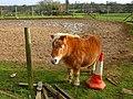 Pony at Burbage - geograph.org.uk - 289055.jpg
