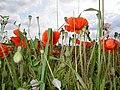 Poppies. - geograph.org.uk - 524092.jpg