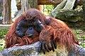 Portrait Of Orangutan (174261867).jpeg