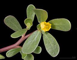 feuilles et fleurs du pourpier