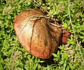 Possibly a Scarletina Bolete, Neoboletus praestigiator (29993944687).jpg