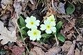Primrose - Primula vulgaris - panoramio.jpg