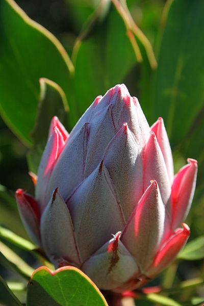 File:Protea bud (Kirstenbosch, South Africa).jpg