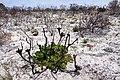 Protea cynaroides 50D 2506.jpg