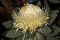 Protea nitida 5Dsr 8287.jpg