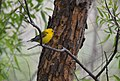 Prothonotary Warbler (34793804016).jpg