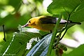 Prothonotary Warbler Boy Scout Woods High Island TX 2018-04-11 12-52-57 (40901622965).jpg