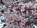Prunus cerasifera pisardii.004 - La Virgen del Camino (Leon).jpg