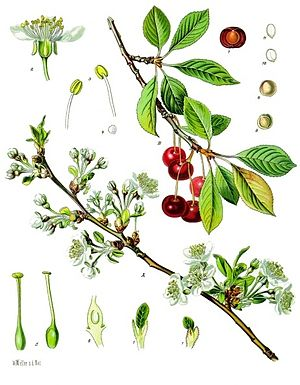 Prunus cerasus - Image: Prunus cerasus Köhler–s Medizinal Pflanzen 113