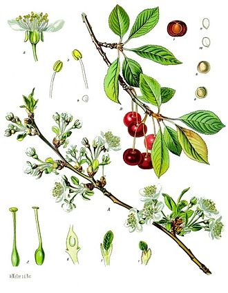 Prunus cerasus - 1897 illustration