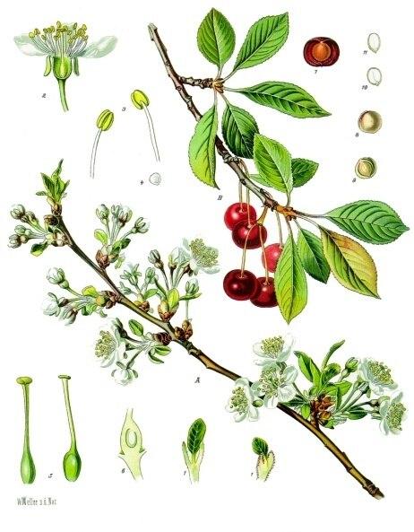 Prunus cerasus - Köhler–s Medizinal-Pflanzen-113
