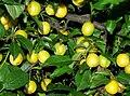 Prunus insititia 2008 (2).JPG