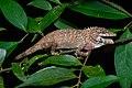 Pseudocalotes floweri, Flower's long-headed lizard - Khao Khitchakut National Park (47144396302) by Rushen.jpg