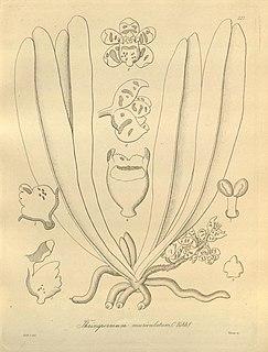 <i>Pteroceras muriculatum</i> Species of orchid