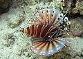 Pterois zebra.JPG
