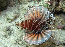 220px pterois zebra