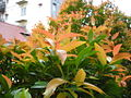Pucuk merah Syzygium Oleina.jpg