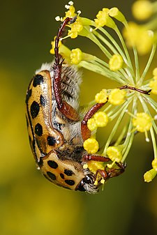 Punctate flower chafer.jpg