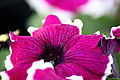 Purple-white-spring-petunia - West Virginia - ForestWander.jpg