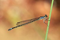 Purple bluet (Enallagma cardenium) female.JPG