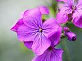 Purple flowers (13758983263).jpg