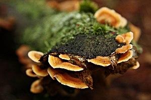 Pycnoporellus fulgens (KK).jpg