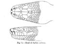 Python molurus gab fbi.png