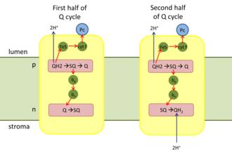 Cytochrome b6f complex - Q cycle of cytochrome b6f