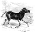 Quagga (Equus Quagga).png