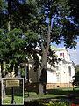 Quercus Robur near Gomel Palace.jpg