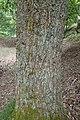 Quercus aliena kz01.jpg