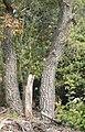 Quercus cerrioides tronc.jpg