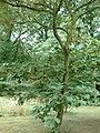 Quercus dentata (keisaraeik) 2.jpg