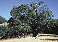Quercus kelloggi.jpg